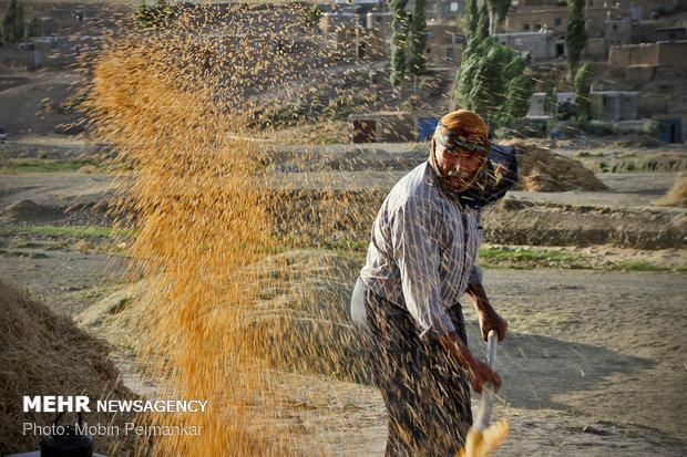 کمک 2200 میلیاردی برای خرید گندم، مطالبات کشاورزان تسویه می گردد