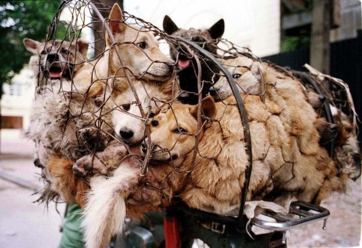 زن چینی مانع خورده شدن 100 سگ در جشنواره شد