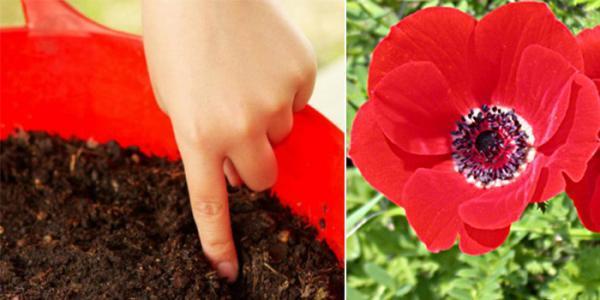 روش کاشت شقایق در گلدان و شرایط نگهداری از آن