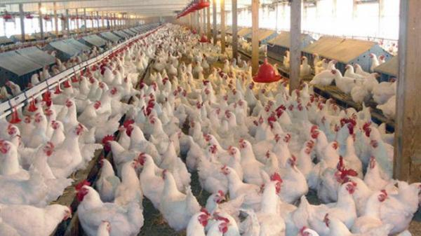 مرغداران با کمبود نهاده های دامی روبرو هستند