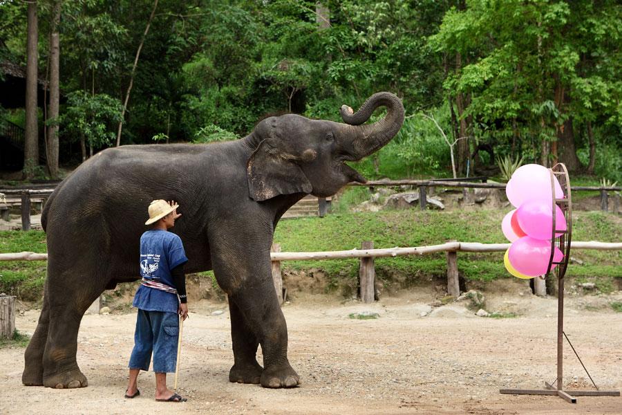 با کمپ فیل های Maesa در چیانگ مای آشنا شوید
